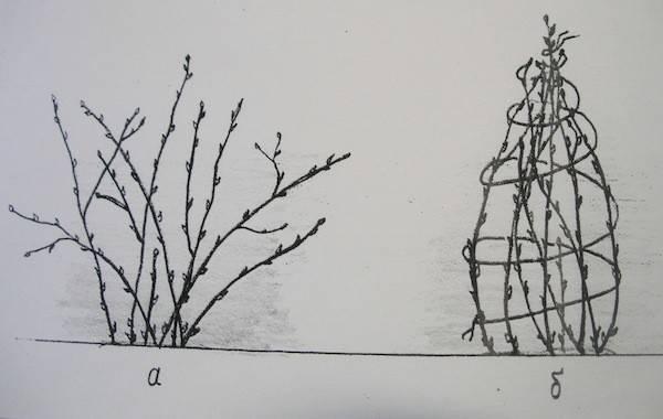 Обработка смородины весной кипятком: спасение от вредителей