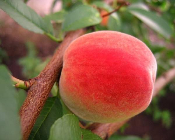 Особенности выращивания сорта персика сибиряк
