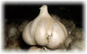 Озимый сорт чеснока «скиф» – неприхотливый и урожайный