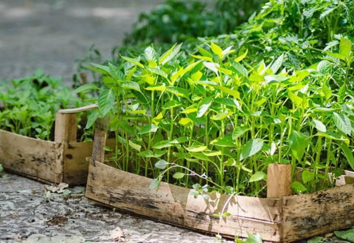 Можно ли не пикировать рассаду перца — нюансы выращивания