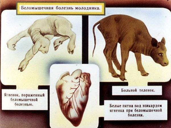 Беломышечная болезнь телят: лечение