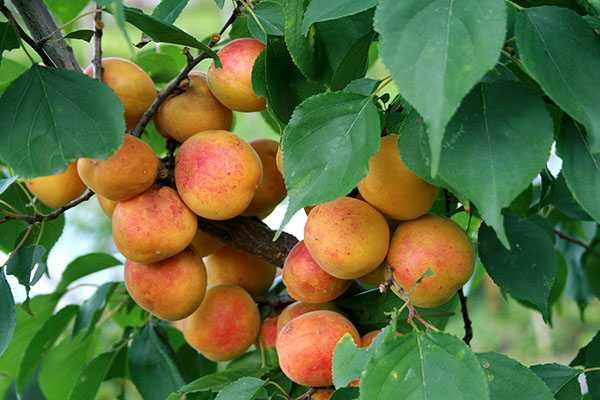 Самые распространенные заболевания абрикосов