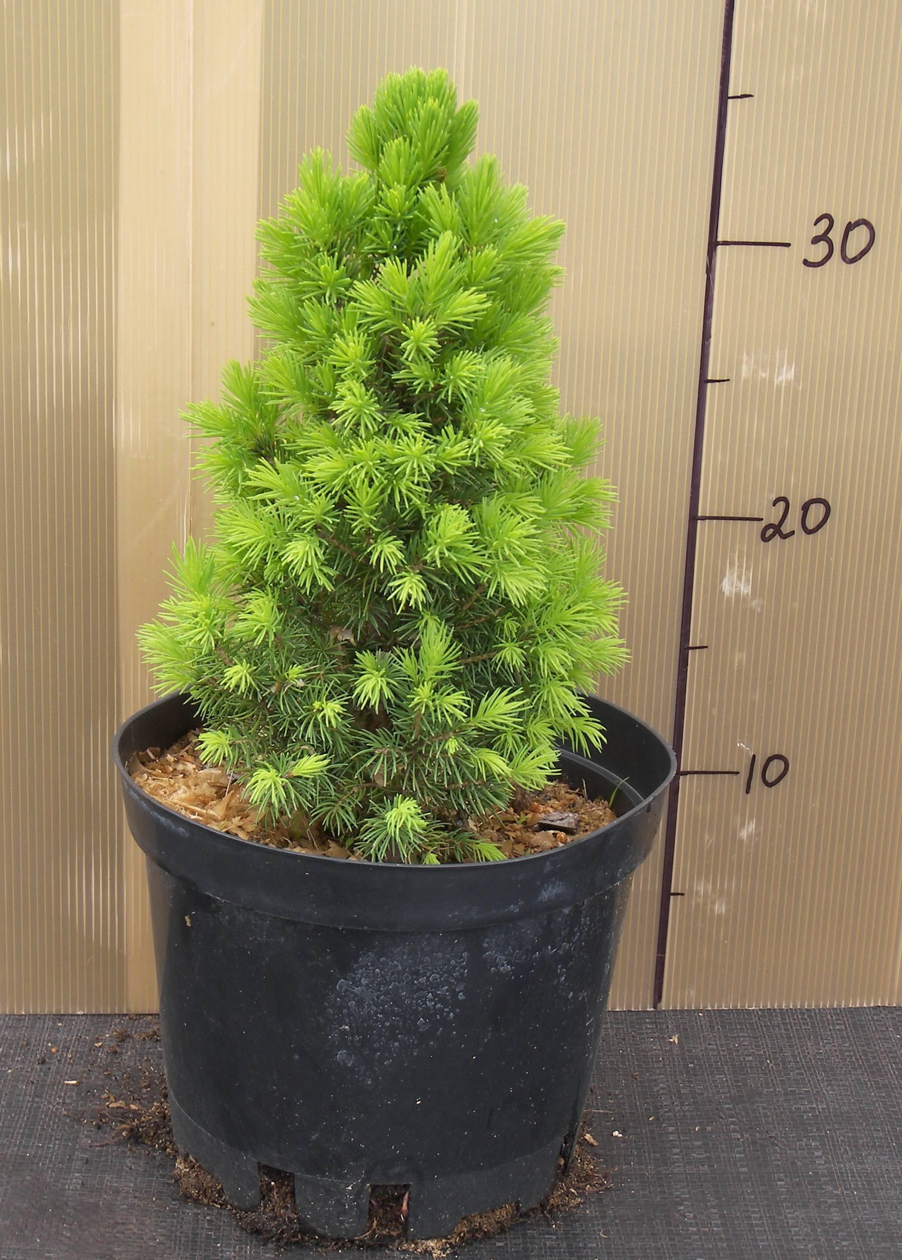 Канадская ель «коника»: описание и выращивание