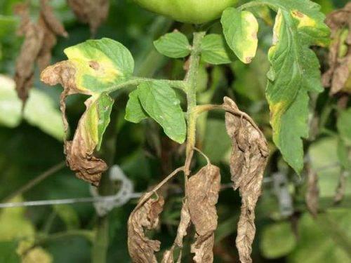 Почему у рассады томатов желтеют и скручиваются листья