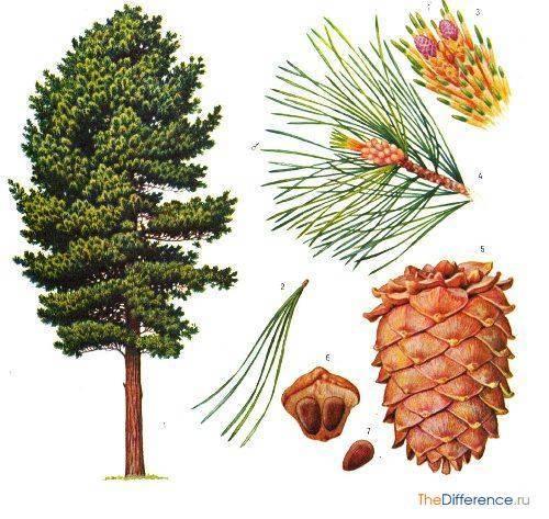 По каким признакам отличается ель от сосны? 20 фото в чем между ними отличия? в каких условиях они растут и как размножаются? как отличить по корневой системе и форме кроны?