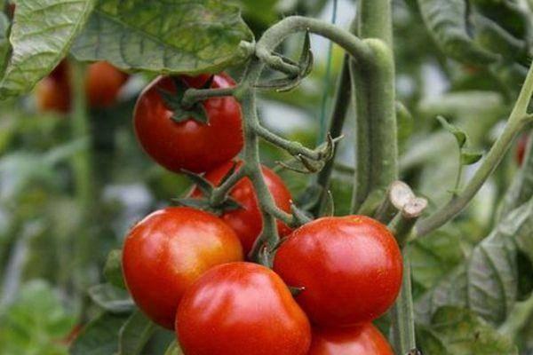 Сорт томата «ранний-83»: описание, характеристика, посев на рассаду, подкормка, урожайность, фото, видео и самые распространенные болезни томатов