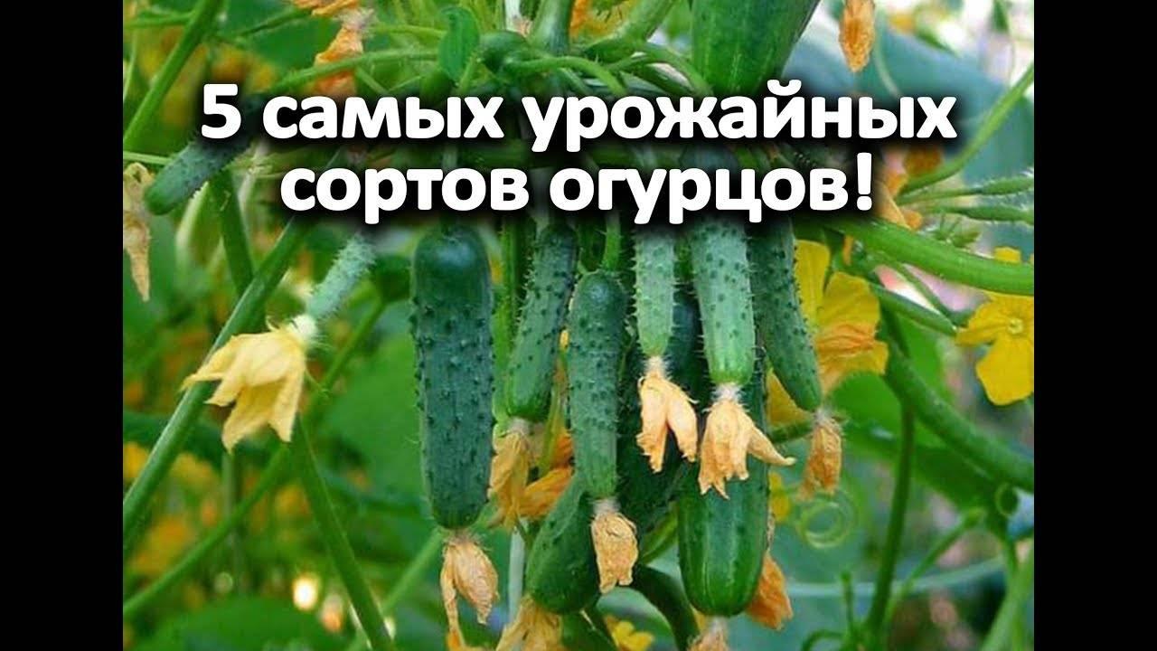 Как правильно выращивать огурцы «клавдия f1», чтобы побить рекорды урожайности