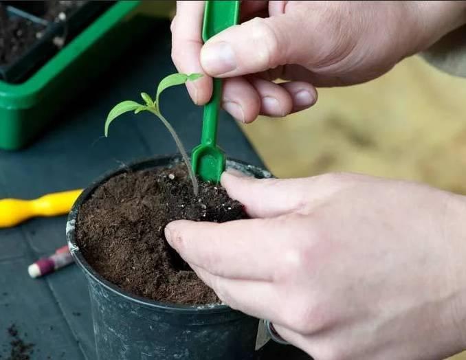 Когда и как пикировать рассаду помидоров, уход за пересаженной рассадой
