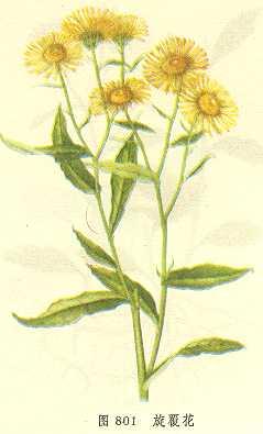 Девясил британский - описание лекарственного растения
