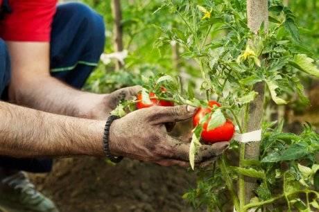 Тепличные вредители и болезни томатов и борьба с ними, опрыскивание