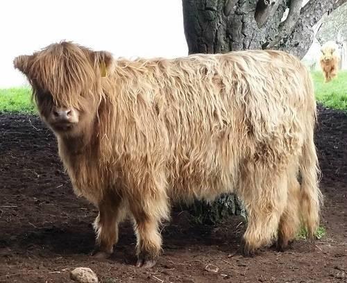 Симптомы и лечение трихомоноза у коров
