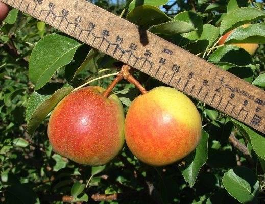 О груше красуля: описание сорта, особенности опыления, агротехника выращивания