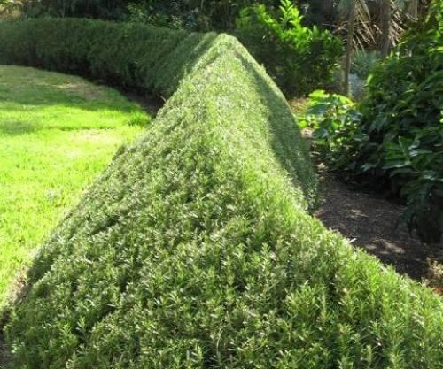 Живая изгородь: быстрорастущая, многолетняя, вечнозеленая, фото растений