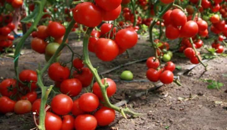 Как вырастить помидоры в теплице из поликарбоната