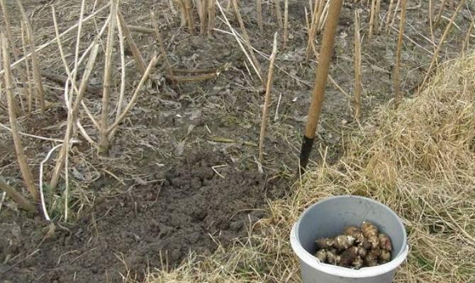 Неизвестный топинамбур: агротехника выращивания земляной груши