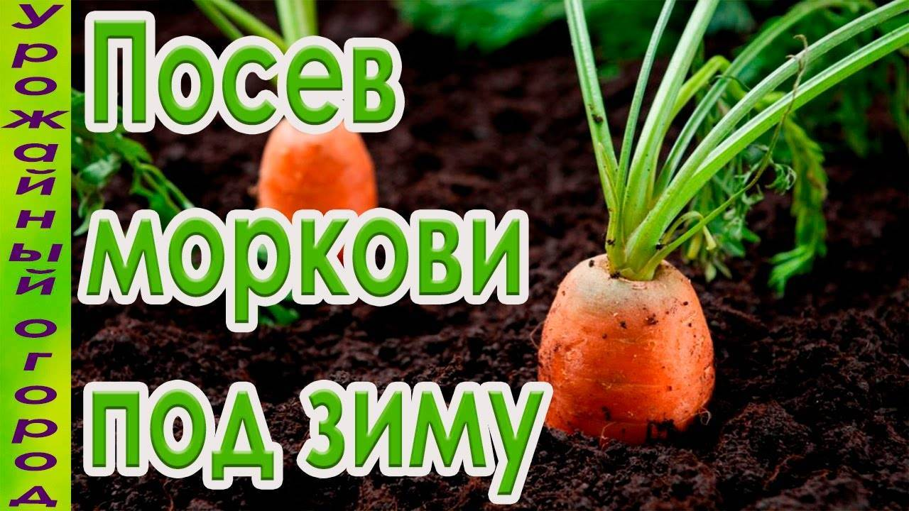 Посадка моркови под зиму – сорта и сроки посадки