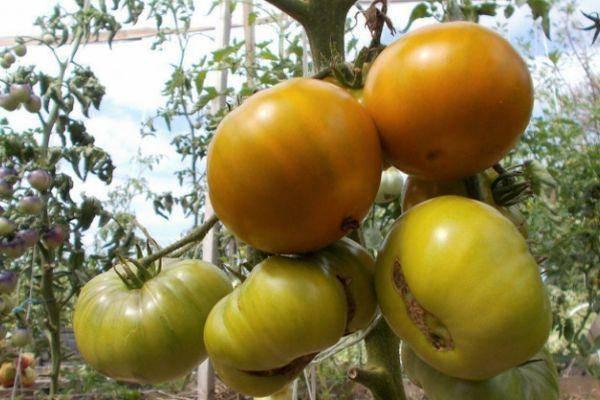 Как вырастить томат «болото»? описание и характеристики сорта
