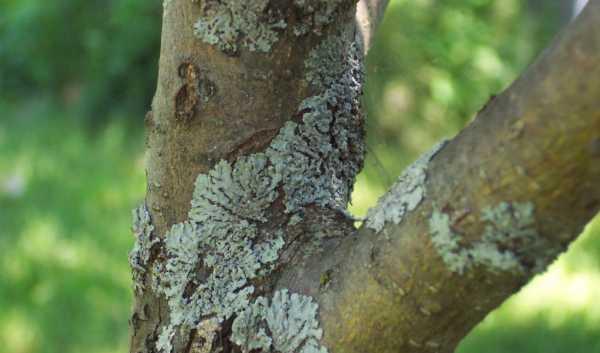 Что делать при растрескивании коры на плодовых деревьях: способы лечения