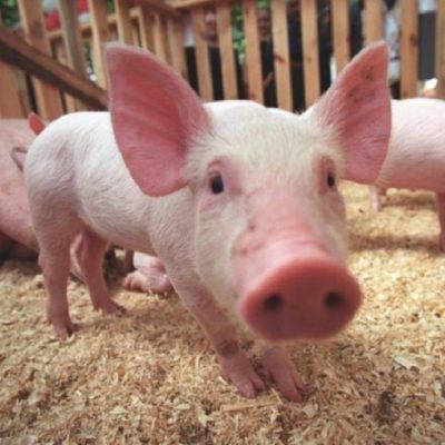 Симптомы и лечение болезней свиней