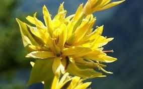 Растение горечавка: посадка и уход в открытом грунте, фото, виды и сорта, свойства