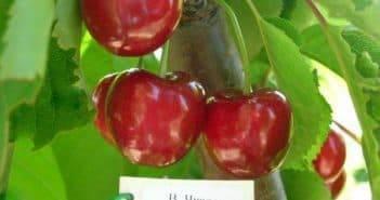 Черешня бычье сердце: 115 фото и видео описание выращивания особо вкусного сорта черешни