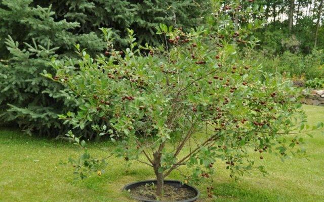 Черешня троснянская — описание сорта, фото, отзывы садоводов
