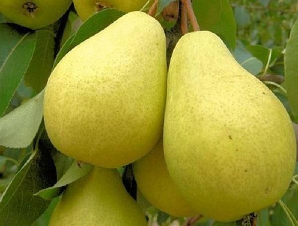 Низкорослый, но очень полезный сорт с маленькими плодами — груша дюймовочка