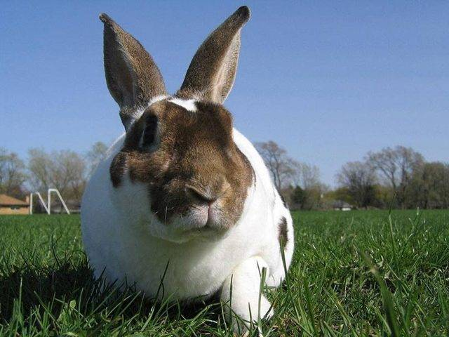 Список лучших пород кроликов
