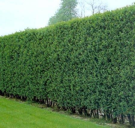 Бирючина – живая изгородь и эффектное украшение сада