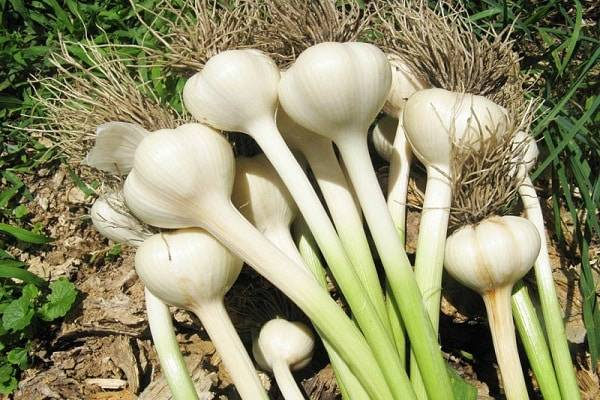 Какие виды чеснока бывают. чеснок софиевский – описание селекционного озимого сорта