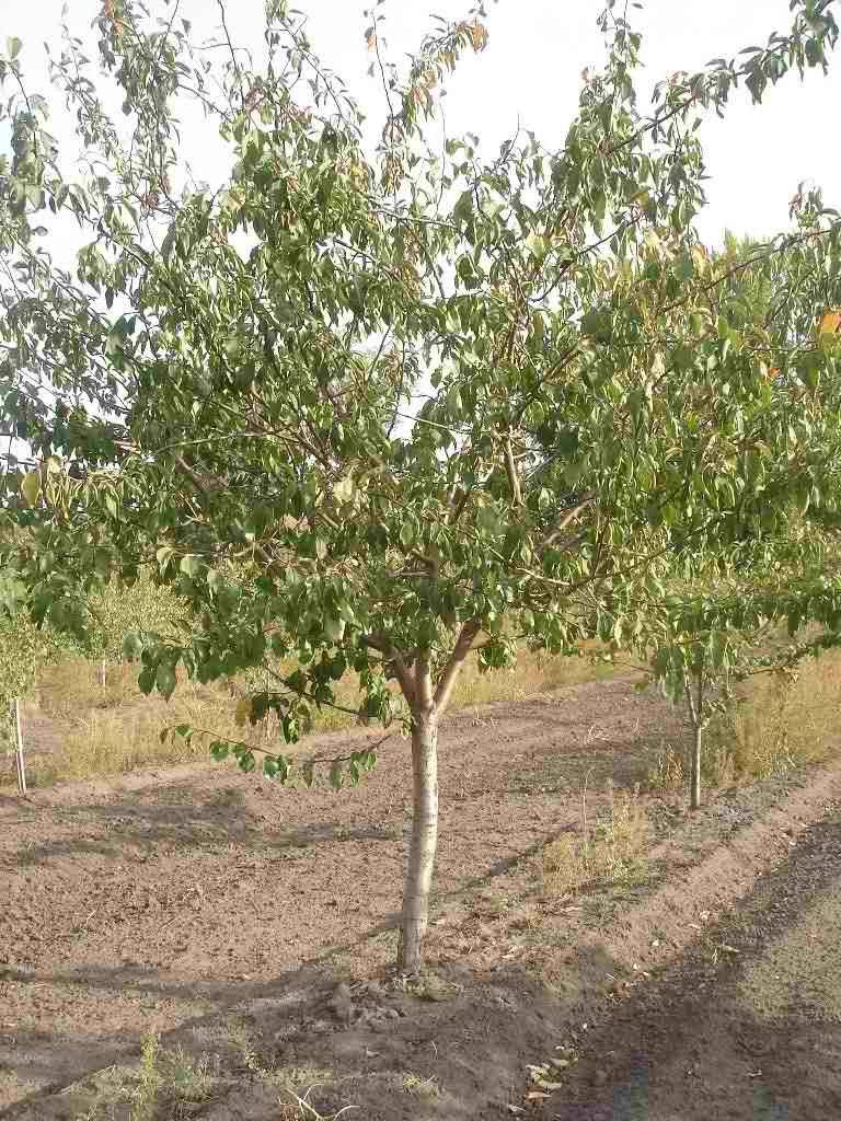 Необычная и вкусная слива персиковая: особенности ухода