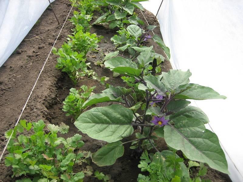 Когда сажать баклажаны на рассаду в 2019 году: сроки посева и высадки в грунт