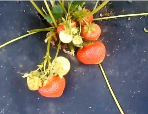 Садовая земляника элиане: агротехника выращивания, фото и отзывы