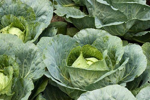 Капуста мегатон: описание сорта, особенности выращивания