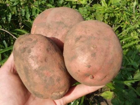 Раннеспелый картофель сорта латона: отличный вкус, высокая урожайность