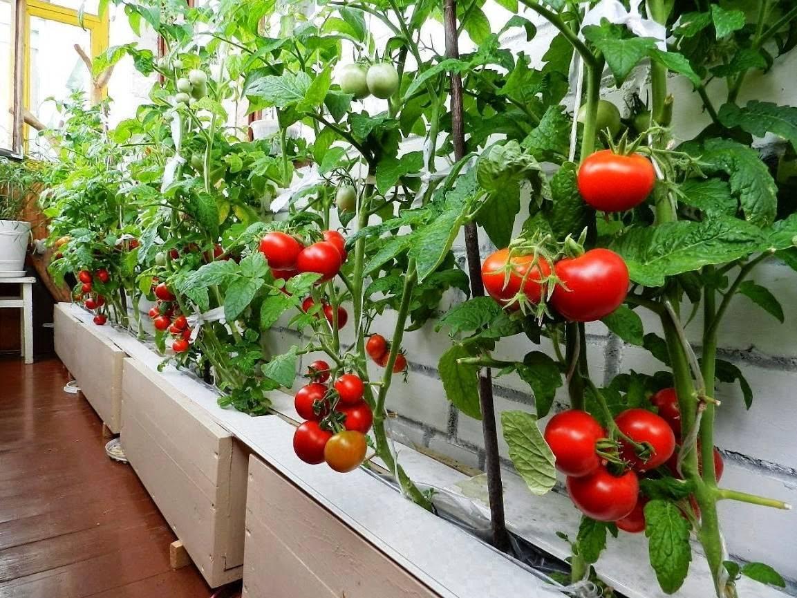 Сорта томатов для балкона