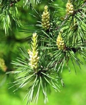 Чай из сосновых иголок: полезные свойства и вред | польза и вред