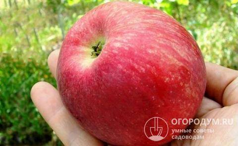 Сорт яблони слава победителям: проверенный временем и любимый народом