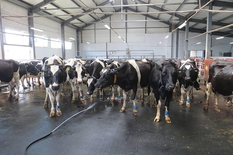 Как лечить нодулярный дерматит у коров