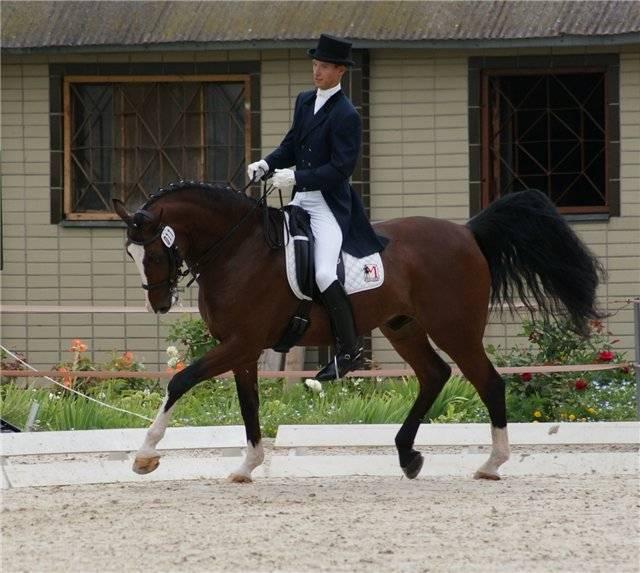 Голштинская лошадь