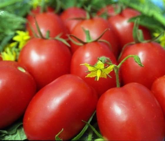 51 самых ранних сортов томатов для открытого грунта