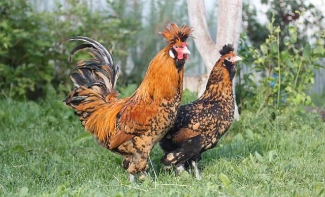 Павловская порода кур: яйценоскость, характеристика