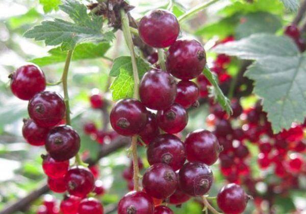 Сорт красной смородины татьяна: преимущества и недостатки, вкусовые качества