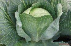 Заслужившая доверие огородников всей страны — капуста куизор f1: описание сорта и отзывы