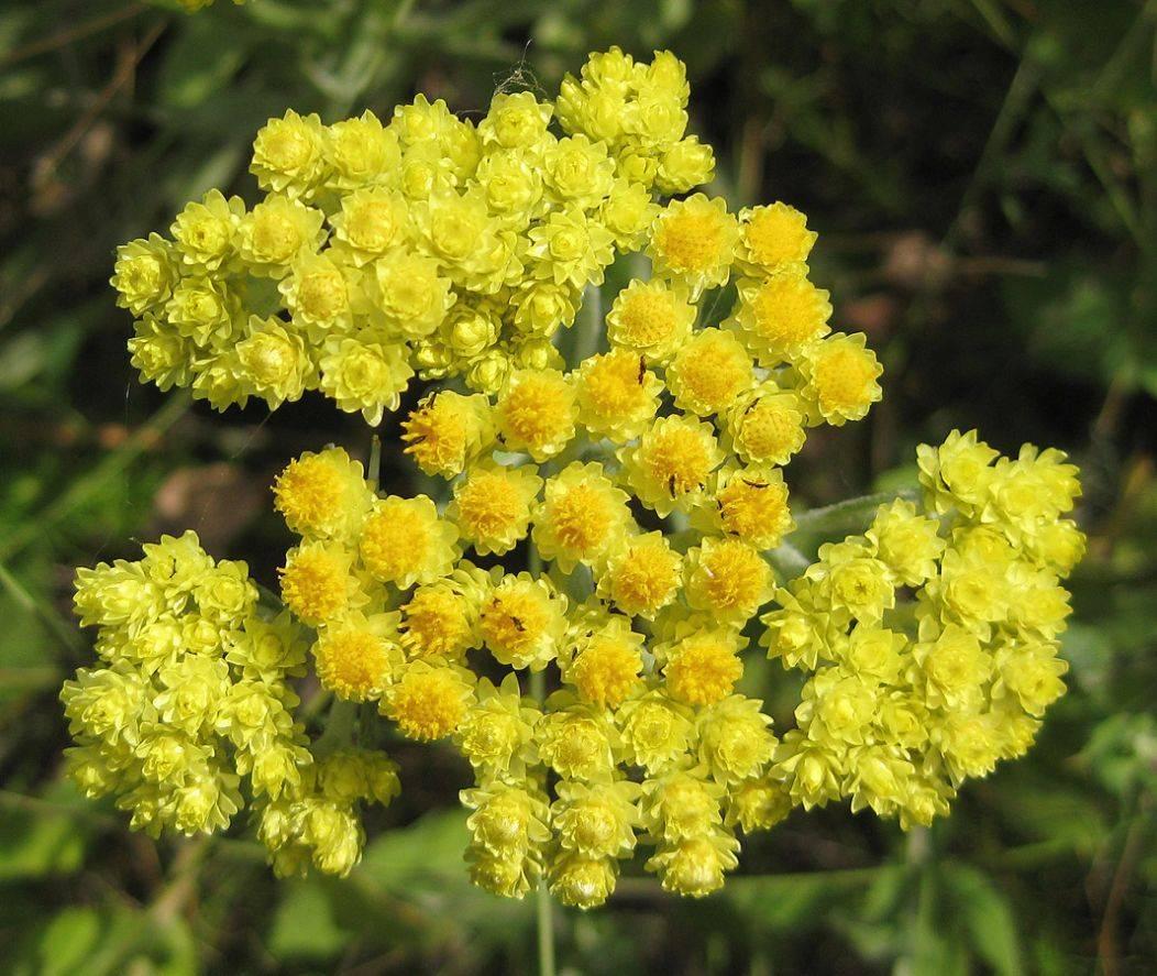 Цветок бессмертник: фото и названия, польза и вред, применение, отзывы