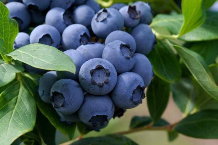 Голубика садовая посадка и уход выращивание из семян размножение черенками фото и видео