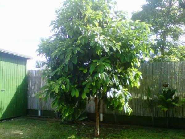 Как растет авокадо — ягоды грибы