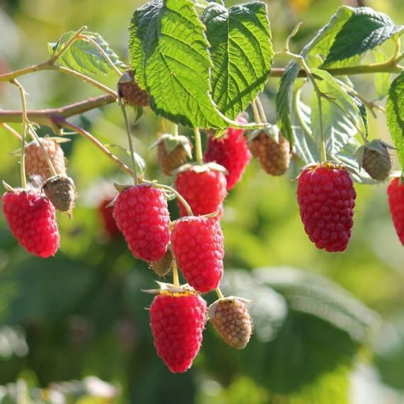 Малина амира: характеристика, особенности выращивания