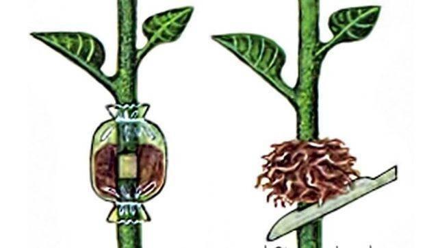 Размножение боярышника черенками осенью