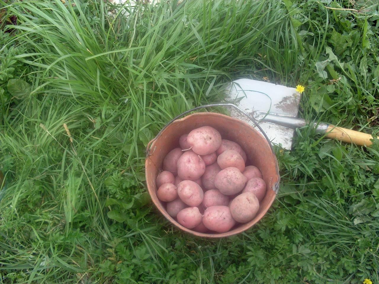 Сорт картофеля ильинский - общая информация - 2020
